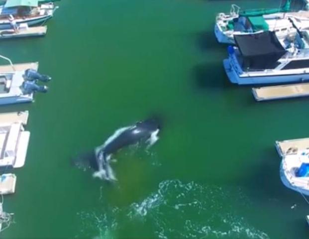 Wieloryb w porcie [ZOBACZ WIDEO]